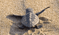 baby turtle in Playa del Secreto